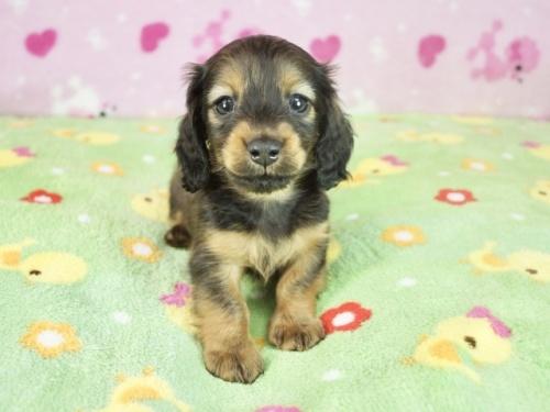 ミニチュアダックスフンド(ロング)の子犬(ID:1255011330)の3枚目の写真/更新日:2018-12-17