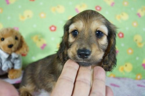 ミニチュアダックスフンド(ロング)の子犬(ID:1255011331)の1枚目の写真/更新日:2018-01-09