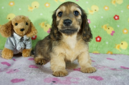 ミニチュアダックスフンド(ロング)の子犬(ID:1255011331)の2枚目の写真/更新日:2018-01-09