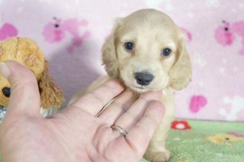 ミニチュアダックスフンド(ロング)の子犬(ID:1255011333)の1枚目の写真/更新日:2018-06-11