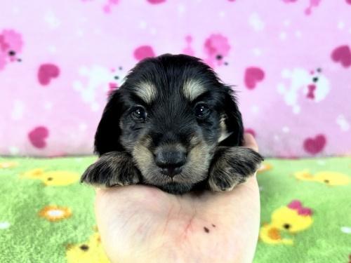 ミニチュアダックスフンド(ロング)の子犬(ID:1255011347)の3枚目の写真/更新日:2019-09-13