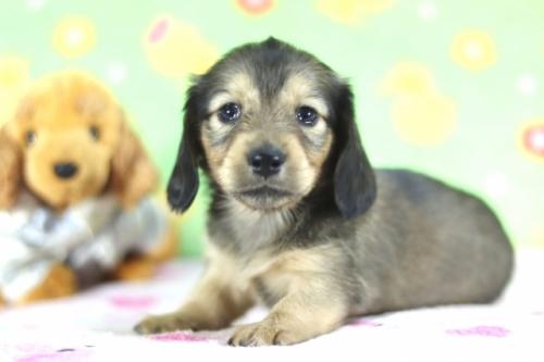 カニンヘンダックスフンド(ロング)の子犬(ID:1255011351)の1枚目の写真/更新日:2018-09-18