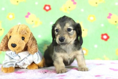 カニンヘンダックスフンド(ロング)の子犬(ID:1255011351)の2枚目の写真/更新日:2018-09-18
