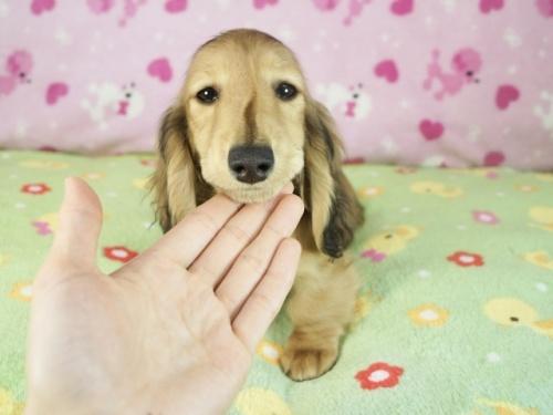 ミニチュアダックスフンド(ロング)の子犬(ID:1255011353)の3枚目の写真/更新日:2019-04-21