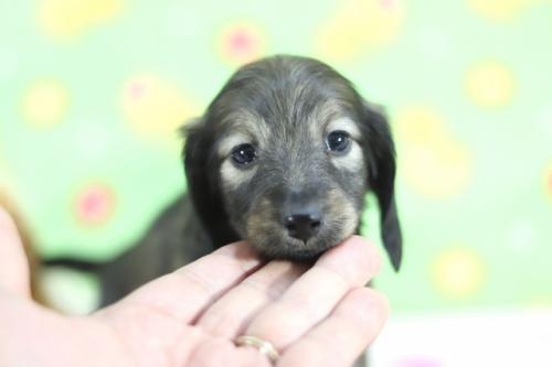 ミニチュアダックスフンド(ロング)の子犬(ID:1255011357)の1枚目の写真/更新日:2018-10-01