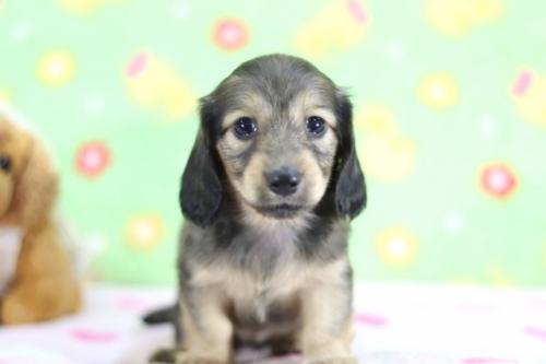 ミニチュアダックスフンド(ロング)の子犬(ID:1255011358)の1枚目の写真/更新日:2018-10-01