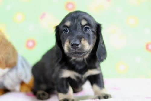 ミニチュアダックスフンド(ロング)の子犬(ID:1255011359)の1枚目の写真/更新日:2018-10-01