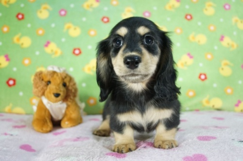 ミニチュアダックスフンド(ロング)の子犬(ID:1255011360)の2枚目の写真/更新日:2018-10-01