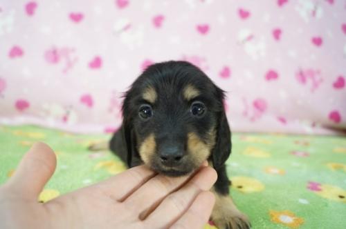 ミニチュアダックスフンド(ロング)の子犬(ID:1255011365)の1枚目の写真/更新日:2019-05-19