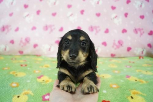 ミニチュアダックスフンド(ロング)の子犬(ID:1255011365)の3枚目の写真/更新日:2019-05-19
