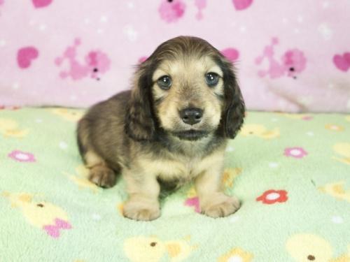 ミニチュアダックスフンド(ロング)の子犬(ID:1255011371)の3枚目の写真/更新日:2018-10-19