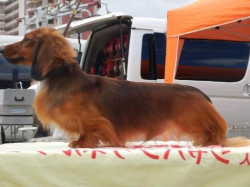 ミニチュアダックスフンド(ロング)の子犬(ID:1255011372)の3枚目の写真/更新日:2018-10-19