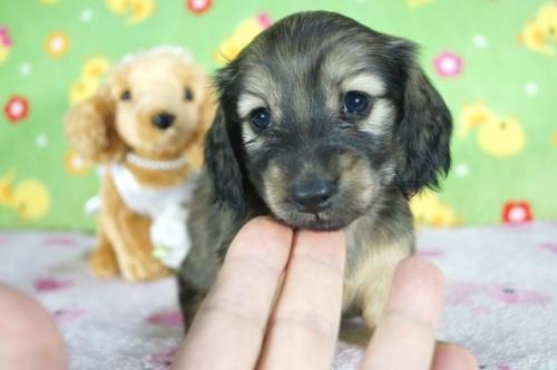 カニンヘンダックスフンド(ロング)の子犬(ID:1255011376)の1枚目の写真/更新日:2018-04-27