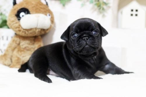 パグの子犬(ID:1255411016)の1枚目の写真/更新日:2018-11-09