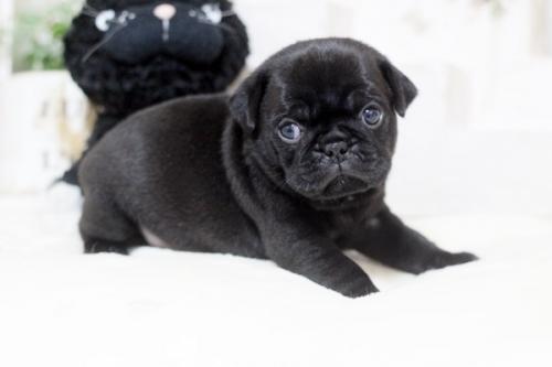 パグの子犬(ID:1255411017)の1枚目の写真/更新日:2018-11-09