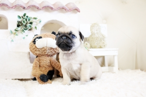 パグの子犬(ID:1255411019)の2枚目の写真/更新日:2020-05-04