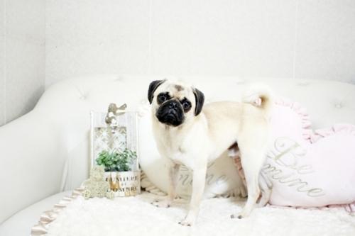 パグの子犬(ID:1255411019)の3枚目の写真/更新日:2018-11-20