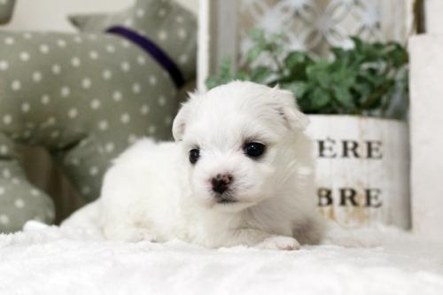 マルチーズの子犬(ID:1255411030)の3枚目の写真/更新日:2018-07-17