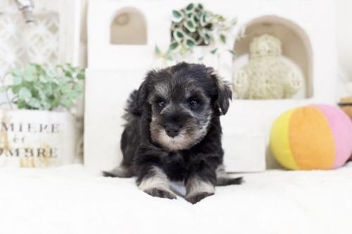 ミニチュアシュナウザーの子犬(ID:1255411032)の1枚目の写真/更新日:2018-06-28