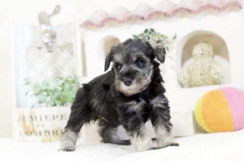 ミニチュアシュナウザーの子犬(ID:1255411032)の2枚目の写真/更新日:2018-06-28