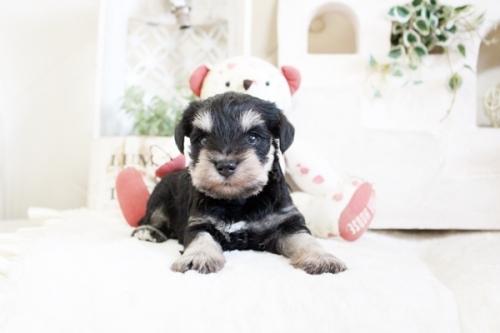 ミニチュアシュナウザーの子犬(ID:1255411033)の1枚目の写真/更新日:2021-04-02