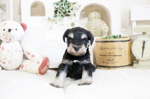 ミニチュアシュナウザーの子犬(ID:1255411033)の2枚目の写真/更新日:2021-04-02