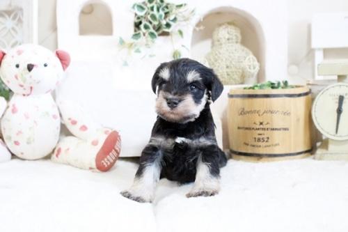 ミニチュアシュナウザーの子犬(ID:1255411033)の3枚目の写真/更新日:2021-04-02