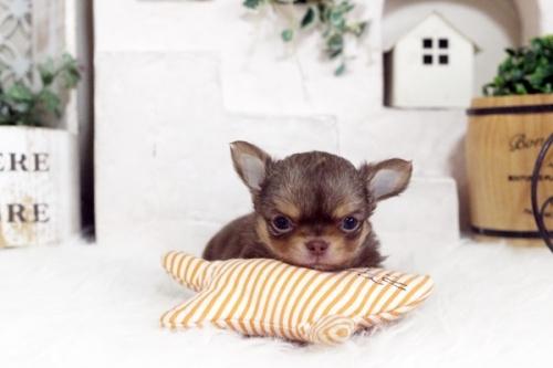 チワワ(スムース)の子犬(ID:1255411039)の1枚目の写真/更新日:2018-08-10
