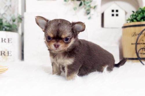 チワワ(ロング)の子犬(ID:1255411039)の2枚目の写真/更新日:2020-05-23