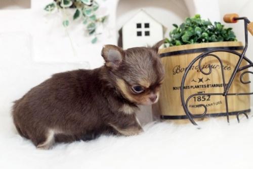 チワワ(スムース)の子犬(ID:1255411039)の3枚目の写真/更新日:2018-08-10
