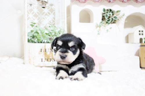 ミニチュアシュナウザーの子犬(ID:1255411049)の2枚目の写真/更新日:2018-07-27