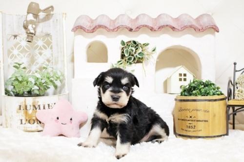 ミニチュアシュナウザーの子犬(ID:1255411049)の3枚目の写真/更新日:2018-07-27