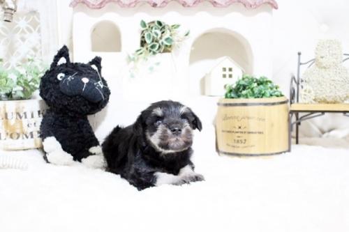 ミニチュアシュナウザーの子犬(ID:1255411050)の2枚目の写真/更新日:2018-07-27