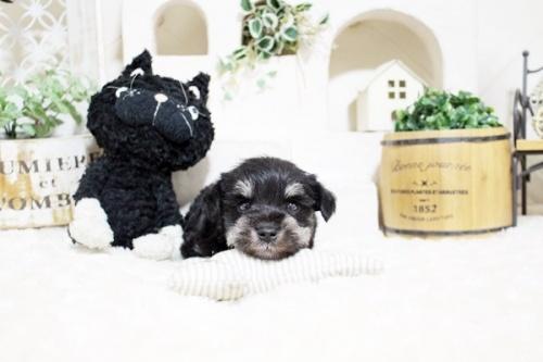 ミニチュアシュナウザーの子犬(ID:1255411050)の3枚目の写真/更新日:2018-07-27