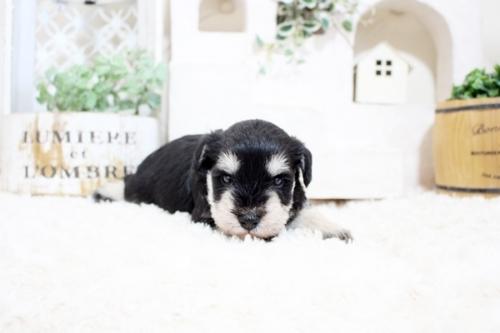 ミニチュアシュナウザーの子犬(ID:1255411052)の2枚目の写真/更新日:2018-06-28
