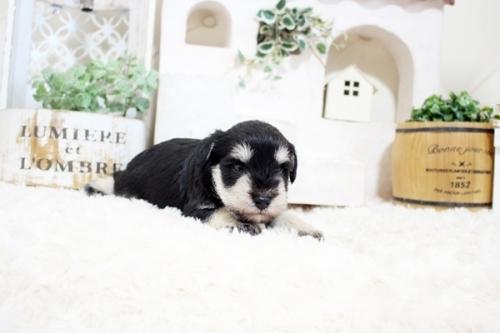 ミニチュアシュナウザーの子犬(ID:1255411052)の3枚目の写真/更新日:2018-06-28