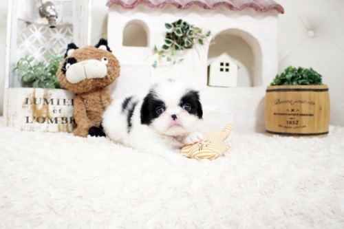 狆(チン)の子犬(ID:1255411058)の1枚目の写真/更新日:2021-08-25