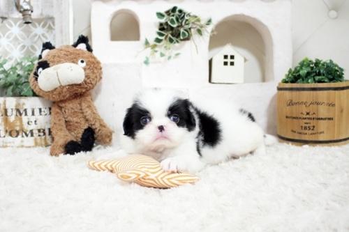 狆(チン)の子犬(ID:1255411058)の2枚目の写真/更新日:2021-08-25