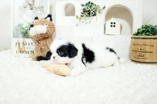 狆(チン)の子犬(ID:1255411058)の3枚目の写真/更新日:2021-08-25