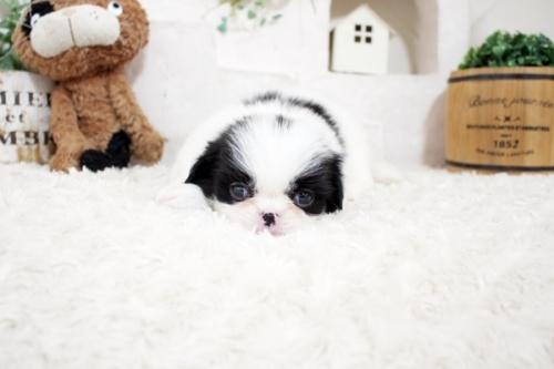 狆(チン)の子犬(ID:1255411058)の4枚目の写真/更新日:2021-08-25