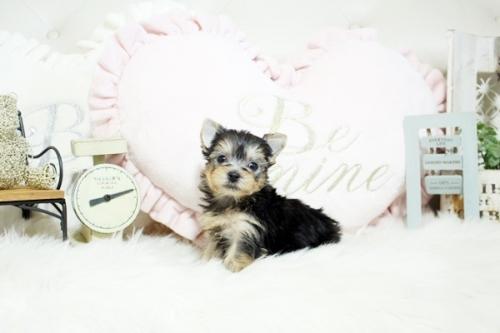 ヨークシャーテリアの子犬(ID:1255411067)の1枚目の写真/更新日:2019-01-07