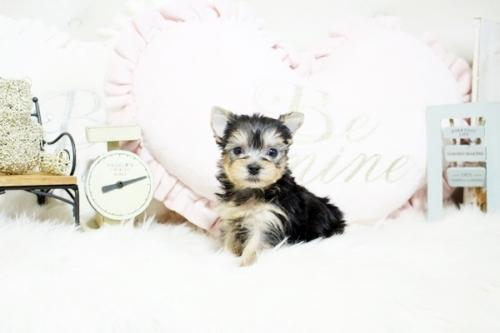 ヨークシャーテリアの子犬(ID:1255411067)の2枚目の写真/更新日:2019-01-07