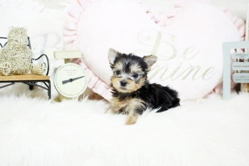 ヨークシャーテリアの子犬(ID:1255411067)の3枚目の写真/更新日:2019-01-07