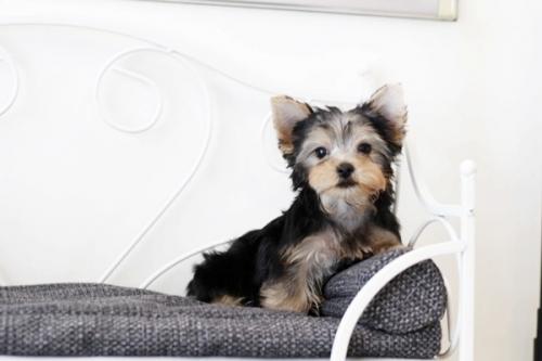 ヨークシャーテリアの子犬(ID:1255411068)の1枚目の写真/更新日:2019-02-26
