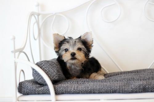 ヨークシャーテリアの子犬(ID:1255411068)の2枚目の写真/更新日:2019-02-26