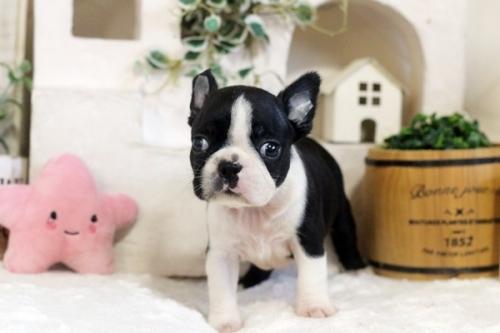 ボストンテリアの子犬(ID:1255411083)の1枚目の写真/更新日:2020-08-15