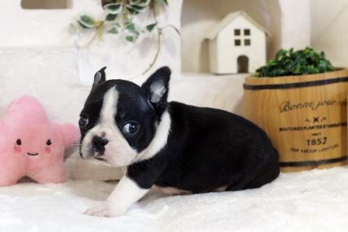 ボストンテリアの子犬(ID:1255411083)の2枚目の写真/更新日:2020-08-15