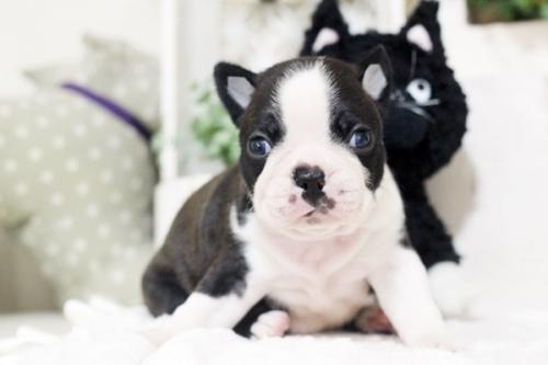 ボストンテリアの子犬(ID:1255411084)の1枚目の写真/更新日:2018-07-03