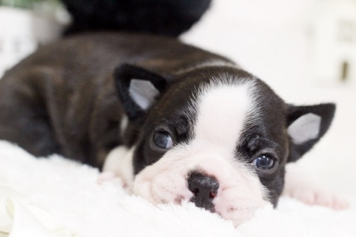 ボストンテリアの子犬(ID:1255411084)の3枚目の写真/更新日:2018-07-03