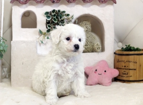 ビションフリーゼの子犬(ID:1255411086)の1枚目の写真/更新日:2018-05-28